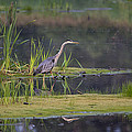 Marty Saccone - Great Blue Heron at Down...