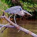 Nadine and Bob Johnston - Great Blue Heron Oak...