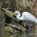Kathy Baccari - Great Egret In The Swamps