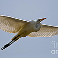 Heron  Images - Great Egret Pictures 1
