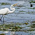Heron  Images - Great Egret Pictures 12