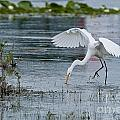 Heron  Images - Great Egret Pictures 5