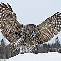 World Wildlife Photography - Great Gray Owl Pictures...