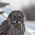 Chris Lindner - Great Gray Owl2