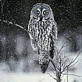Owl Images - Great Grey Owl Pictures 7