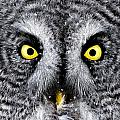 Owl Images - Great Grey Owl Pictures 8