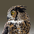 Brian Wallace - Great Horned Owl