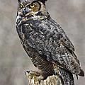 Inspired Nature Photography By Shelley Myke - Great Horned Owl Watch