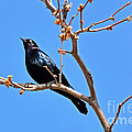 Susan Wiedmann - Great-Tailed Grackle on...