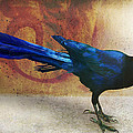 R christopher Vest - Great Tailed Grackle