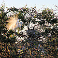 Rosalie Scanlon - Great White Heron with...