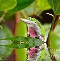 Kathy Baccari - Green Anole And His...