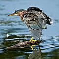 Heron  Images - Green Heron Pictures  29