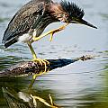 Heron  Images - Green Heron Pictures  30