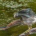 Heron  Images - Green Heron Pictures  33