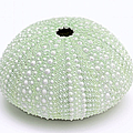 Jennie Marie Schell - Green Sea Urchin White