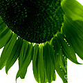 Deborah Fay - Green Sunflower Abstract