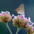 Karen Adams - Grey Hairstreak...
