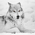 Athena Mckinzie - Grey Wolf In Snow Black...