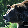 Gary Gingrich Galleries - Grizzly-7755