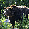 Gary Gingrich Galleries - Grizzly-7756