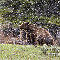 Mike Cavaroc - Grizzly Bear in Snow...