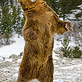Jerry Fornarotto - Grizzly Standing