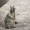 Susan Wiedmann - Ground Squirrel Raising...