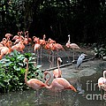 Imran Ahmed - Group of flamingos and...