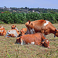Bellesouth Studio - Guernsey Cows Isle of...