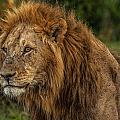 Peggy Blackwell - Handsome Male Lion at...