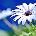 Kaye Menner - Happy White Daisy 2-...