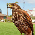 Eva Kaufman - Harris Hawk at Hotel del...