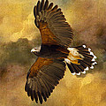 Barbara Manis - Harris Hawk in Flight