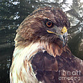 Ella Kaye - Hawk Eye - Wildlife Art...