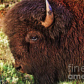 Janice Rae Pariza - Head of a Bison in...