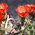 Heather Coen - Hedgehog Cactus