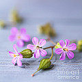 Jan Bickerton - Herb Robert