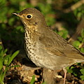 James Peterson - Hermit Thrush
