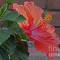 Alan Look - Hibiscus 3