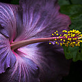 Julie Palencia - Hibiscus Bloom in...