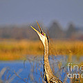 Al Powell Photography USA - Hollering Heron