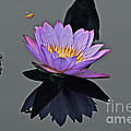Byron Varvarigos - Honey Bee And Water Lily...