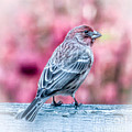 Kerri Farley - House Finch Hopes