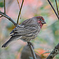 Amy Porter - House Finch in Autumn