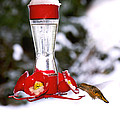 Peggy Collins - Hummingbird and Snow in...