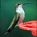 Geraldine Scull ART - Hummingbird Perched On...