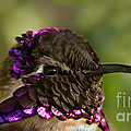 Robert Bales - Hummingbird Portrait