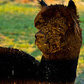 Eti Reid - I seeZ you black alpaca...