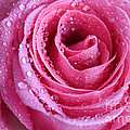 Tracy  Hall - Ice Pink Rose